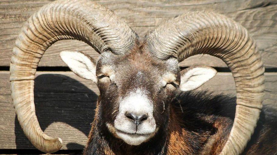 Was wäre der Wildpark Rehberge ohne seine Die Mufflon-Schafe? Nur halb so schön!
