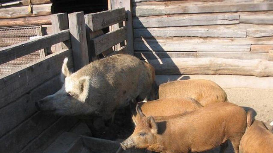 Rückgezüchtete Weideschweine im Museumsdorf Düppel.