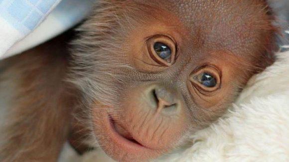 Das Orang-Utan-Schnuckelchen kam am 12. Januar zur Welt.