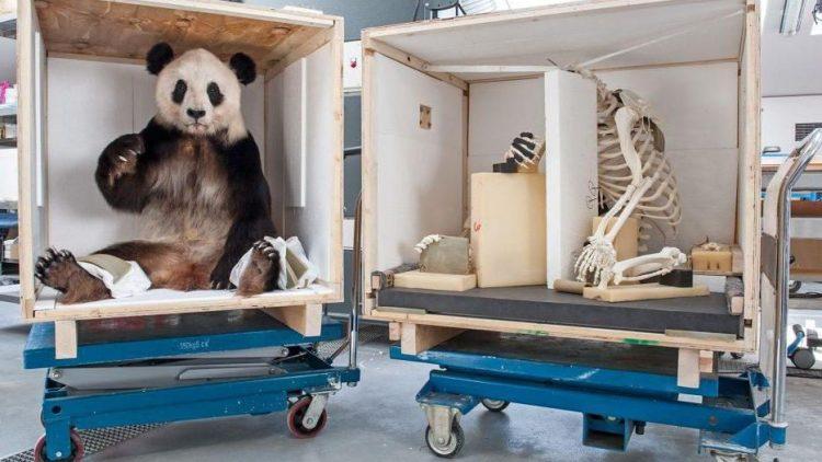 In gleich zwei Kisten ist Teilzeit-Berlinerin Yan Yan gerade auf dem Weg nach China. In einer ist ihre Dermoplastik verstaut, im anderen Yan Yans Skelett.