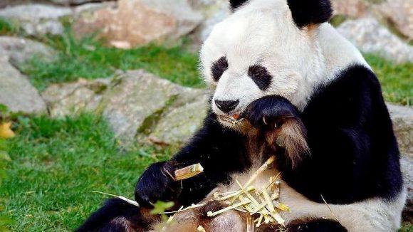 Bambus kauen in Berlin. Den Pandabären Bao Bao schenkte China 1980 dem damaligen Bundeskanzler Helmut Schmidt. 2012 starb Bao Bao mit 34 Jahren.