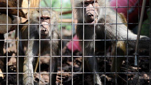 Wie viele Affen müssen Paviane oft für qualvolle Tierversuche in der Hirn- oder Infektionsforschung herhalten.