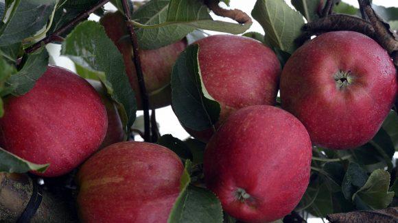 Die Sorte Elstar ist laut Online-Apfelberater der Schöneberger Apfelgalerie schön sauer, aber nicht zu fest.