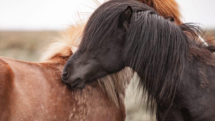 Lange Mähne, weiche Schnauze: Schon der Anblick von Pferden kann gestresste Städter ein wenig entspannen.