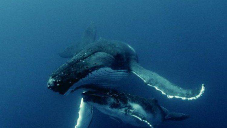 Schon dieses Filmstill mit einem Wal aus dem Film Sonic Sea ist beeindruckend und macht Lust auf alle Aufnahmen der Dokumentation.