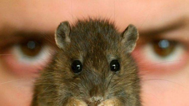 Angeblich kommen zwei Ratten auf einen Berliner. Und doch sind die Nager von der Gentrifizierung betroffen.