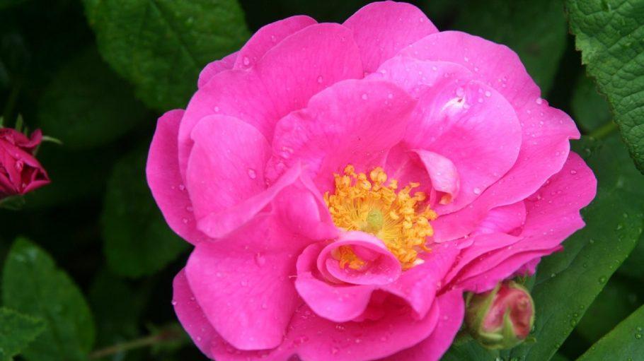 Nicht nur die Rose wird immer wieder in Shakespeares Werken erwähnt.