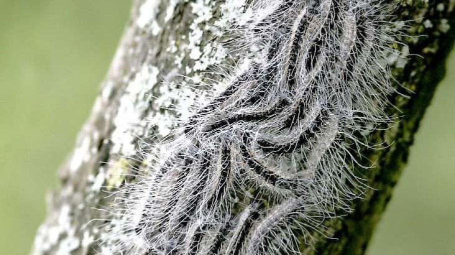 Auf dem Weg zur gedeckten Tafel: Hungrige Eichprozessionsspinner ziehen in die Baumkronen