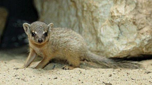 Die Geburt dieses Schmalstreifenmungos war zugleich ein Jubiläum. Der Mungo war bereits der dreißigste seiner Art, der hier im Zoo geboren wurde. In den ersten Lebenswochen werden die Kleinen, trotz ihres Gewichtes von 50 Kilogramm, von der Mutter mit dem Maul im Nacken gepackt und durch die Gegend getragen.