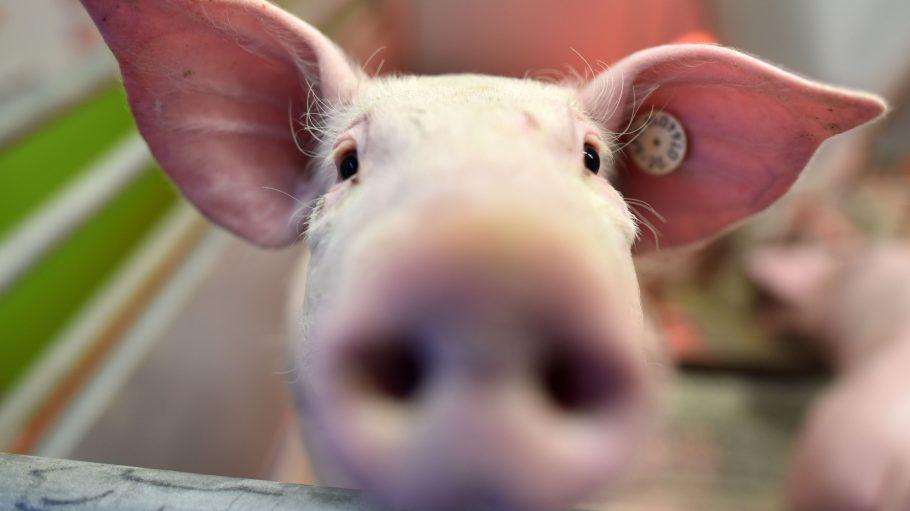 Schweine streicheln und Wurst verkosten liegen selten so nah wie auf der Grünen Woche. Ein optimaler Lern-Ausflug zum Thema Landwirtschaft und Ernährung.