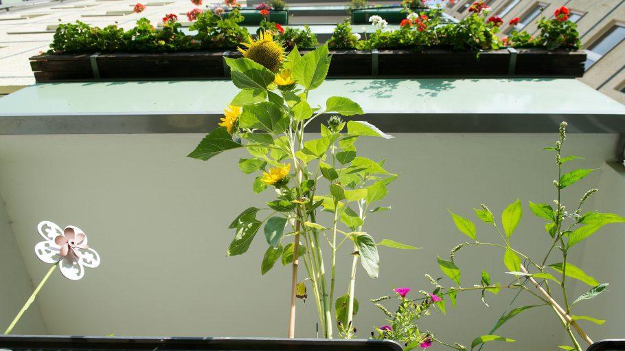 Eine Sonnenblume und andere Pflanzen bringen Farbe auf Balkone von diesem Plattenbau in Hellersdorf.