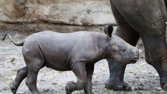 Erst Anfang Oktober bekam die Nashorndame Kumi im Berliner Zoo Nachwuchs. Der kleine Bulle wog bei der Geburt stolze 35 Kilo bei einer Länge von nur 50 Zentimetern. Zum Glück wiegen Menschenbabys nicht so viel.
