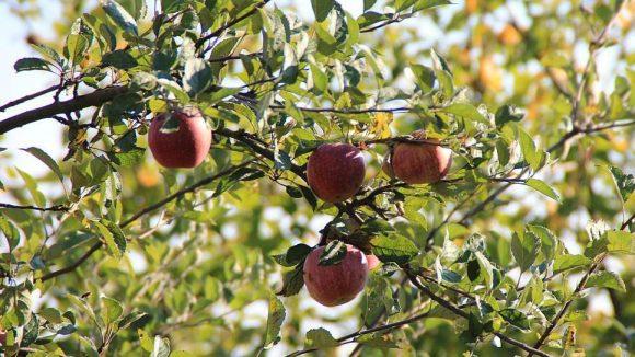 An die 30 verschiedene Apfelsorten wachsen auf der Streuobstwiese im Berliner Ortsteil Falkenberg. Darunter sind Sorten, die man so noch nie gehört hat.