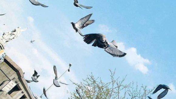 Die Zahl der Tauben sinkt. Doch nach wie vor verursachen die gurrenden Vögel - wie hier am Halleschen Ufer - Ärger und viel Dreck.