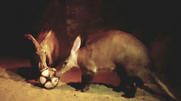 """Nicht nur den Erdferkeln kannst du als """"Tierbeschäftiger"""" im Zoo Berlin etwas Gutes tun."""