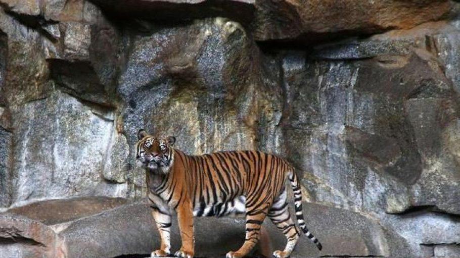 Ein Tiger im Raubtierhaus des Tierparks in Friedrichsfelde.