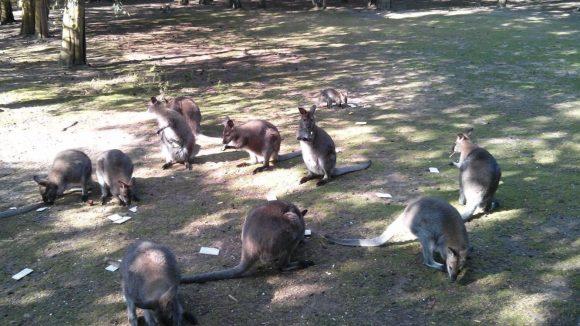 Knusperpause bei denKängurus: Das Knäckebrot darf aber nur der Tierparkchef persönlich verteilen.