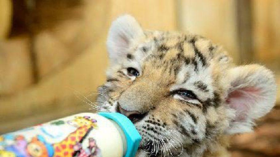 Das Tigerbaby Alisha wird im Tierpark mit der Flasche aufgezogen. Ihre Fütterung kann man täglich von 12 bis 13 Uhr im Tierpark Berlin beobachten.