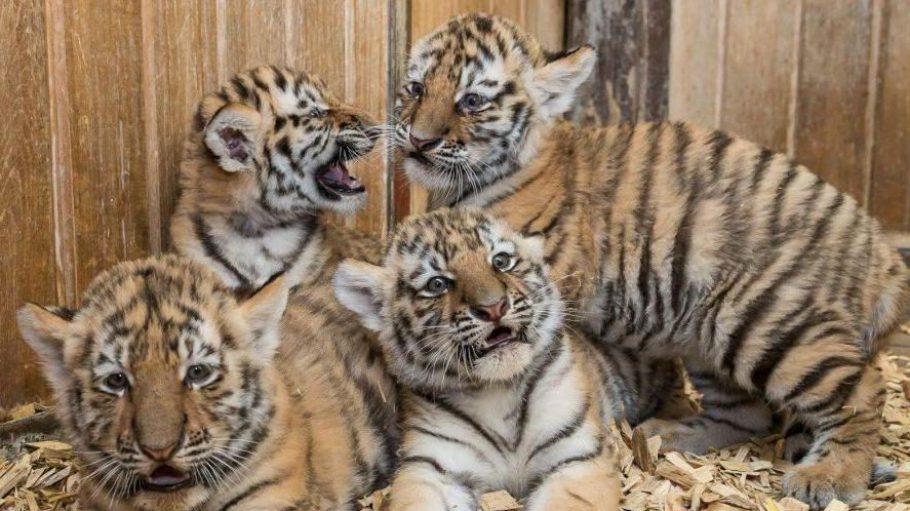 Seltener Nachwuchs im Tierpark: Die Amurtiger gehören zu den stark bedrohten Tierarten. Auch dass es im Tierpark gleich vier flauschige Tierbabys auf einmal gibt, ist was ganz besonderes.
