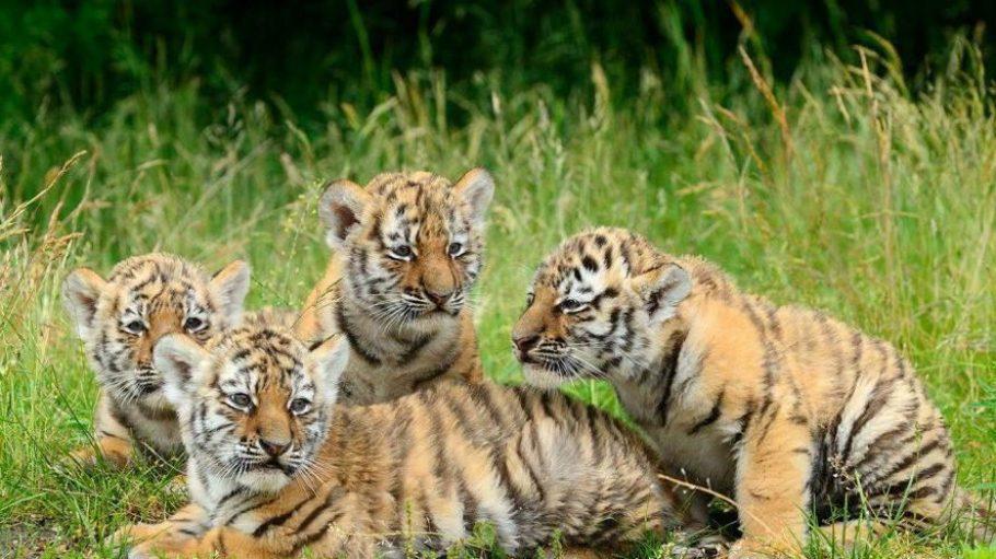 Drei Amur-Tigermädchen und ihr Bruder erkunden das Gehege am Alfred-Brehm-Haus. Dort wird man sie ungefähr bis zu ihrem zweiten Lebensjahr besuchen können.