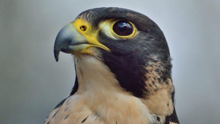 Der Wanderfalke wurde 2015 zum Vogel des Jahres gekürt.