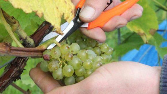 Im September und Oktober ist auch in den Berliner Weingärten Lesezeit.