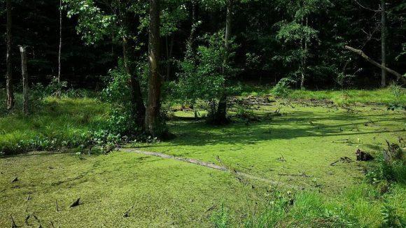 Im Buchenwald Grumsin stößt man auch außerhalb der Schutzzone des Weltnaturerbes auf Moore und grüne Pfuhle.