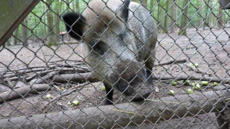 Rosi, das Wildschwein, ist der Star im Wildgehege Hermsdorf
