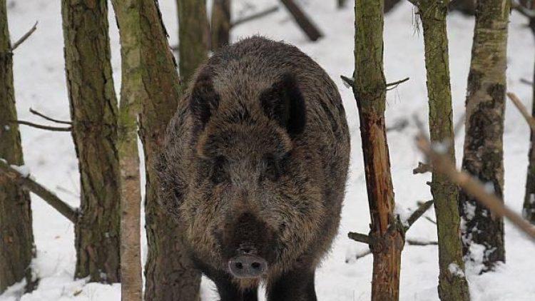 Begegnungen mit einem Wildschwein gehen in einem Gehege deutlich entspannter vonstatten als in freier Natur.