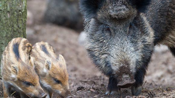 Keineswegs so harmlos, wie sie aussehen: In Berlin werden in einem Forschungsprojekt die Lebensgewohnheiten von Wildschweinen im Stadtgebiet ermittelt.