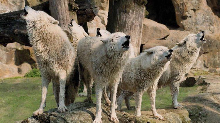 Diese Kanadischen Wölfe sind eine Station auf der Zoo-Tour. Nur am Abend kann man sie, mit etwas Glück, heulen hören.