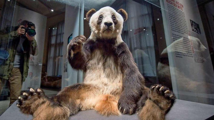 Der präparierte Pandabär Yan Yan sitzt im Naturkundemuseum in einer Vitrine.