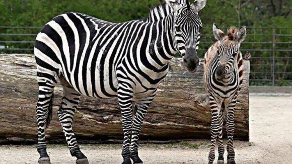Im Berliner Zoo kamen im März gleich zwei Zebra-Fohlen zur Welt - auch wenn auf dem Foto nur eines zu sehen ist. Diese Tatsache ließ den Leithengst Ole so eifersüchtig werden, dass er eine zeitlang nicht mehr zur Herde gelassen werden konnte.