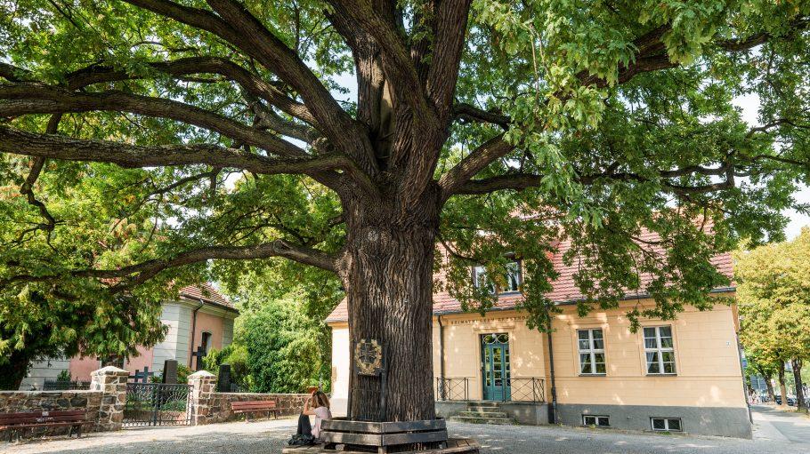 Die Zehlendorfer Friedenseiche ist als Naturdenkmal geschützt.