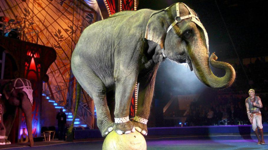 Der Albtraum eines jeden Tierschützers: Ein Elefant muss im Zirkus Kunststücke aufführen. So etwas soll zumindest im Bezirk Steglitz-Zehlendorf jetzt verboten werden.