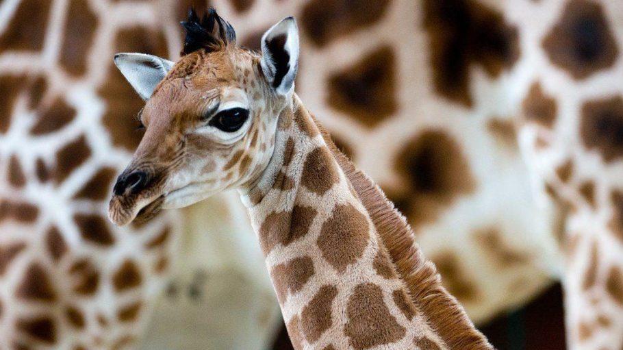 Am 13.11.2013 wurde Uganda-Giraffen-Baby Fritz, mit einem giraffentypischen Gardemaß von 1,81 Metern, geboren.