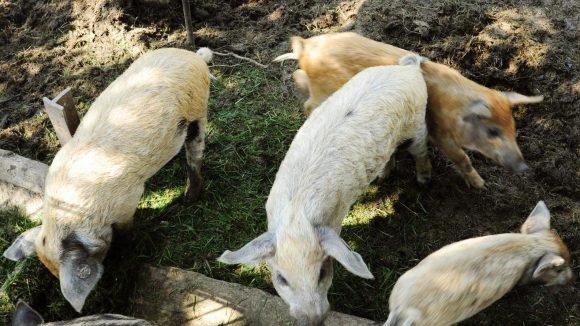 Das Fleisch von Wollschweine kann man gleich vor Ort in Form vonBratwürsten kosten.