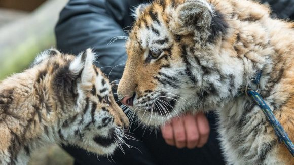 Das Berliner Tigerbaby Alisha (l) und der kleine Tiger Dragan sehen sich 10.03.2015 das erste Mal im Zoo in Eberswalde (Brandenburg). Beide sollen sich anfreunden und voneinander lernen. Die beiden Tierkinder verbindet ein ähnliches Schicksal: Sie wurden von Pflegern mit der Flasche aufgezogen. Foto: Patrick Pleul/dpa +++(c) dpa - Bildfunk+++