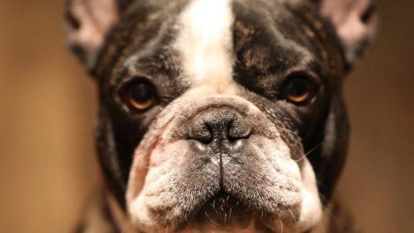 Die französische Bulldogge gehört mit zum Team des Kreuzberger Himmels.