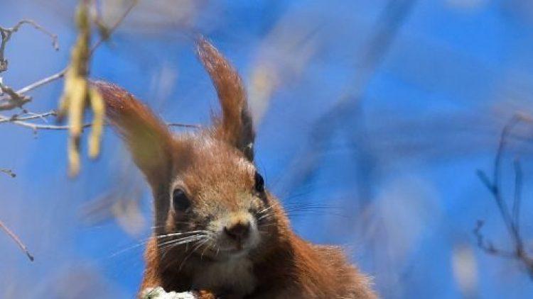 Aufgepasst! Bald wird das Leben für Berlins Eichhörnchen etwas sicherer.