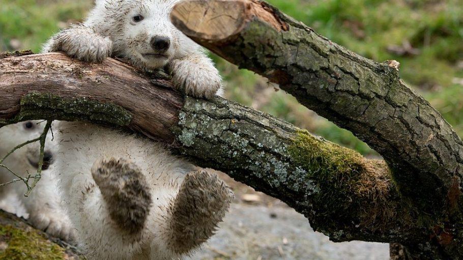 Eisbären-Nachwuchs, wie hier im Münchener Tierpark Hellabrunn, würden sich sicher auch die Berliner Zoo-Freunde wünschen.