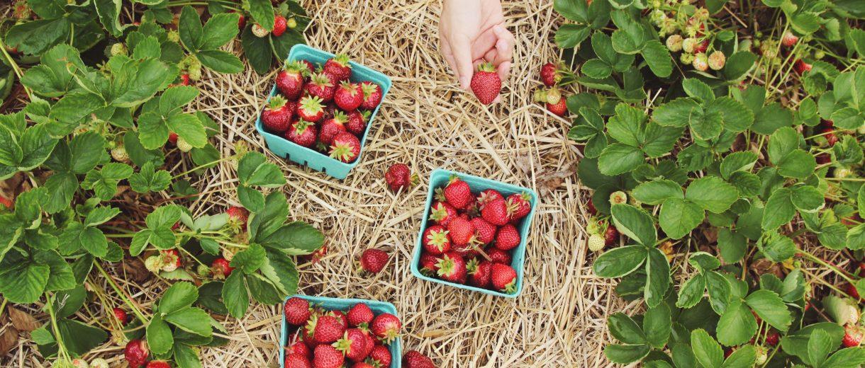 Blaue Erdbeerschalen auf einem Erdbeerfeld, eine Hand nimmt ich Erdbeeren.