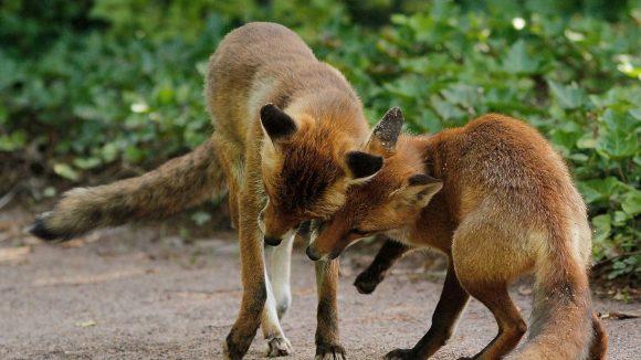 In Gärten, in Parks, aber auch auf Straßen und Plätzen sind Füchse in Berlin bereits gesichtet worden.