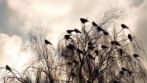 Hier sitzen sie friedrich auf einem Baum, aber in Kreuzberg haben sich in dieser Woche Krähen auf ahnungslose Passanten gestürzt. So verteidigen sie ihren Nachwuchs.