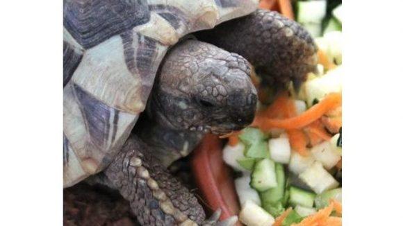 Landschildkröte aus dem Tierheim Berlin
