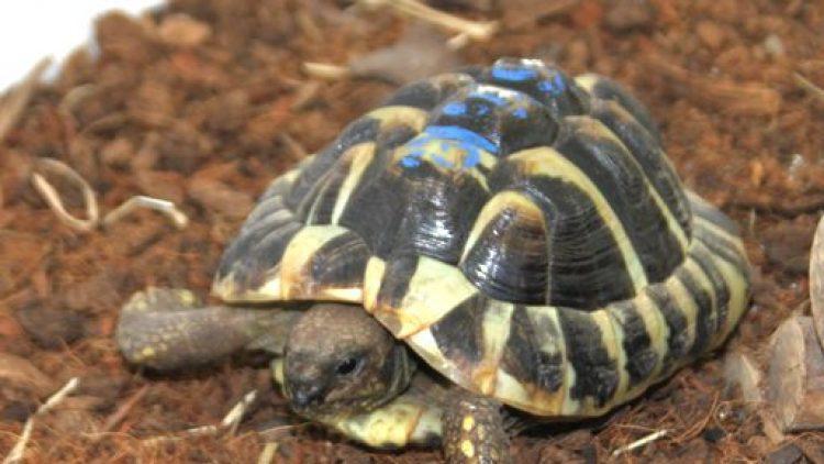 Eine der kleinen Landschildkröten aus dem Tierheim Berlin.