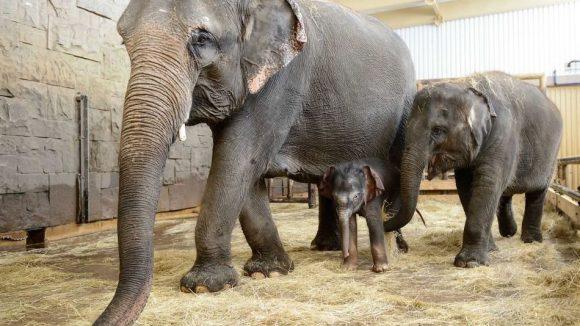Nachwuchs_Asiatische Elefanten_ Mutter Kewa Sohn und große Schwester Pantha_Tierpark Berlin_2016 (3)
