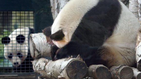 Panda-Bärin Yan Yan versteckt das Gesicht unter den Pfoten: Solch putziges Panda-Verhalten lieben die Berliner, aber müssen nun schon seit geraumer Zeit darauf verzichten. Doch es gibt Hoffnung auf ein neues Bärenpaar für den Zoo.