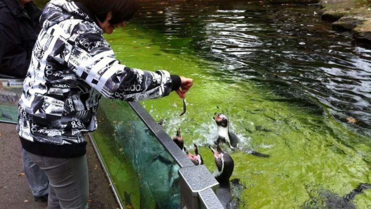 Bei der Fütterung der Pinguine.