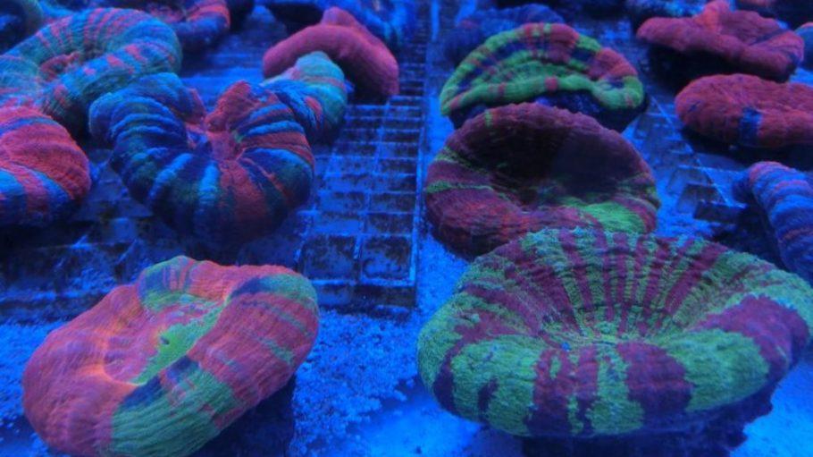 """Im """"Into the Blue"""" kann man Exemplare der seltenen Scolymia-Koralle genauso wie viele weitere Meerestiere aus der ganzen Welt bestaunen und kaufen."""